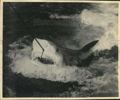 Press Photo A Shark Is Hooked In Marineland, Florida - lrx36830