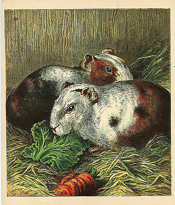 Guinea Pigs With Cabbage Carrot Pet Animal Antique Lithograph 1886 Harrison Weir