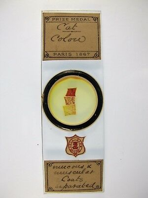 Antique Microscope Slide by A.C.Cole. Cat Colon. 3 sections. Mucous coats etc.