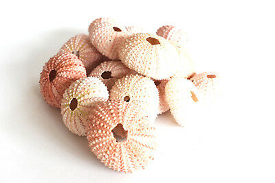 9 Pink Sea Urchin Seashells Shells Beach Wedding Craft Nautical Decor Airplant