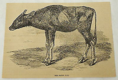 1859 magazine engraving~ THE GAOUR CALF ~ cows