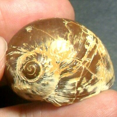 79ct Golden Brown White Natural Indonesia Agatized Fossil Gastropod Snail shell