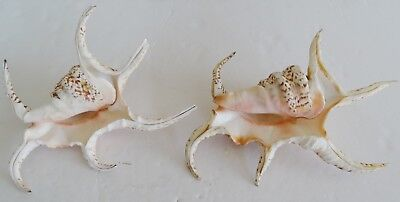 "2 LAMBIS CHIRAGRA SPIDER big SEASHELLS 8"" & 9"""