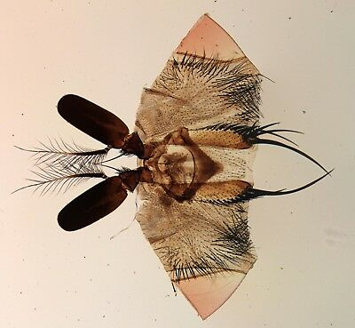 Antique Microscope Slide by Amos Topping. Antenna of Blow Fly.