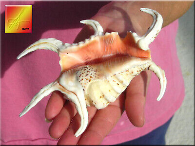 "One Beautiful Spyder Conch Shell (Lambis Chiragra) 4-5"" Beach Decor Display"