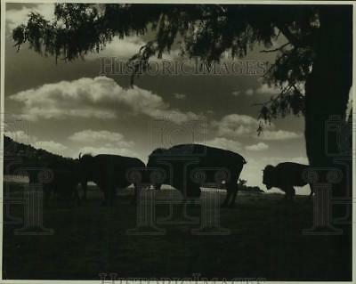 1935 Press Photo Bison herd stand at attention in this sunset view - hcx44046