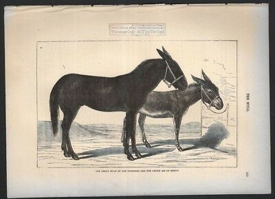 Lot of 3 Original c1895 Prints of Horse Donkey Ass