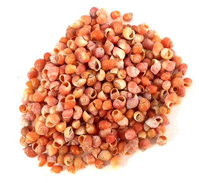 "200 Select Tiny Little Red Mongo Snail Shells Micro Seashells 1/8""-1/4"".Crafts"