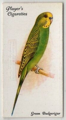 Parakeet Green Budgerigar Bird Australia Pet c85 Y/O Trade Ad Card