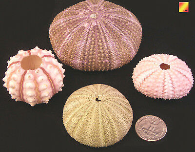 Sea Urchin Sampler: Natural Pink,Sputnik, Green and Alfonso Nautical Beach Decor