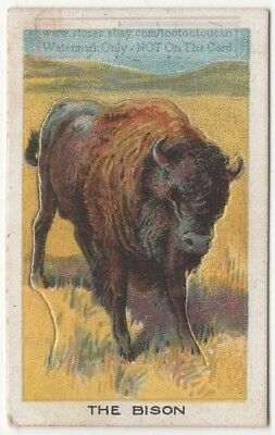 Buffalo Bison With Pop-Up Image 1920s Ad Trade Card