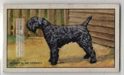 Kerry Blue Terrier Dog 75+ Y/O Ad Trade Card