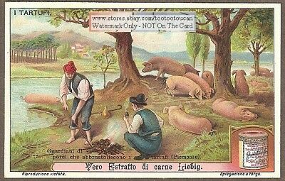Truffle Hogs Pigs Digging Mushroom Mycology c1910 Trade Ad Card