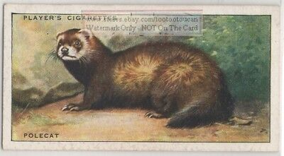 Ferret European Pole Cat  Mustela putorius 1930s Ad Trade Card