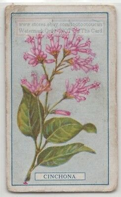 Quinine Drug Flowers of Cinchona Medicine Pharmacy 95+ Y/O Trade Ad Card