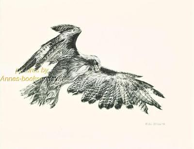 #191 RED TAIL HAWK wild bird art print Pen and ink drawing by Jan Jellins