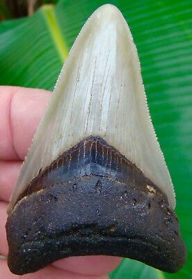 Megalodon Shark Tooth  3 & 1/8 in.- REAL FOSSILS -  NO RESTORATIONS or REPAIRS
