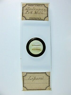 Antique Microscope Slide by Frederick Enock. Antenna of Liparis Moth.