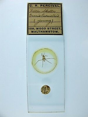 Antique Microscope Slide by C.R.Percival. Water Skater. Gerris lacustris. Young.
