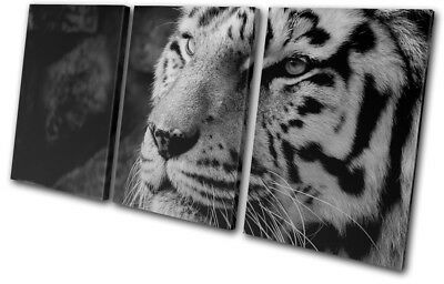 White Siberian Bengal Tiger   Animals TREBLE CANVAS WALL ART Picture Print
