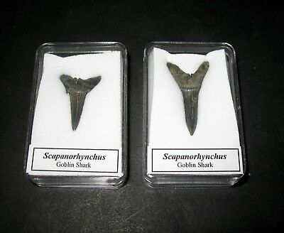 Cretaceous Scapanorhynchus raphiodon goblin shark tooth fossil in display case