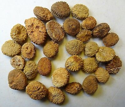 Corals - Mississippian Period - Thirty (30) Beautiful Barylasma ovale -  30BO2