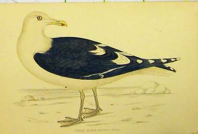 Original Old Antique Print C1880 Hand Coloured Great Black-Backed Gull Bird