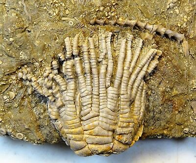Crinoids - Mississippian Period - Magnificent Zeacrinus wortheni - ZW24