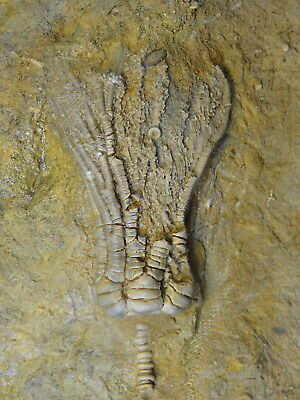 Crinoids - Mississippian Period -Alcimocrinus ornatus with Stem - ALS1