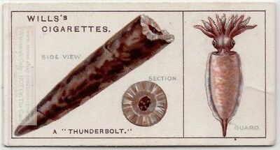 A Thunderbolt Is A Fossil Arm Of A Marine Cephalopod 90+  Y/O Ad Trade Card