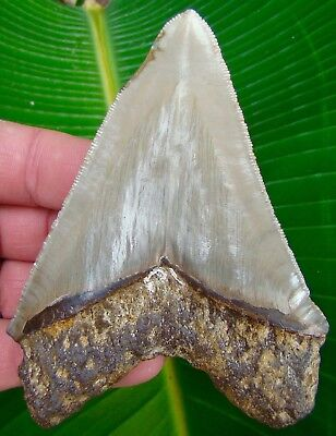 Megalodon Shark Tooth  4 & 3/8 in.  REAL Fossil Sharks Teeth - NO RESTORATIONS