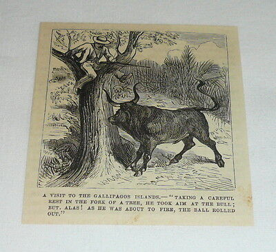 1878 small magazine engraving ~ VISITOR IN THE GALLIPAGOS TREED BY BULL
