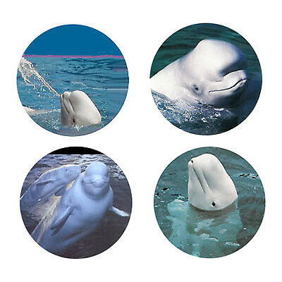 Beluga Whale Magnets: 4 Cool Belugas for your Fridge or Collection-A Great Gift