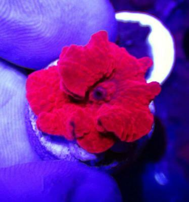 083 Wysiwyg Wowsers Zoanthids Live Coral 0 99 Picclick
