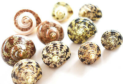 """10 Assorted Turbo Hermit Crab Shells Lot 3/4""""-2"""" size (opening 5/8""""-1"""") Seashell"""