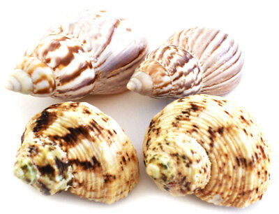 "4 Select Hermit Crab Changing Shell Set 3/4-1 1/4"" opening Small-Medium Hermits"