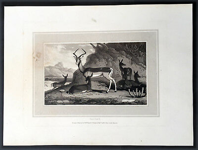 1809 William Daniell Antique Print of The Impala or Antelope of Southern Africa