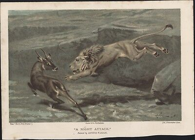 1895 Boys Own Paper Original Antique Print of A Night Attack - Lion & Antelope