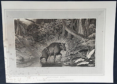 1809 William Daniell Original Antique Print of The Giant African Forest Hog
