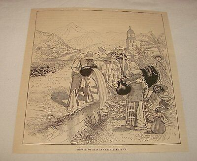 1886 magazine engraving ~ MIGRATING RATS, Central America