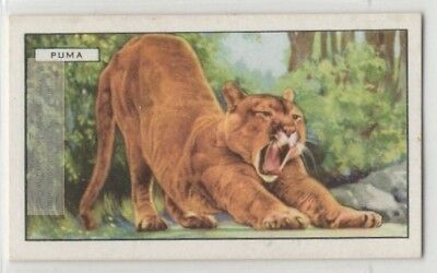 Puma Mountain Lion  Panther Catamount c80 Y/O Trade Ad Card