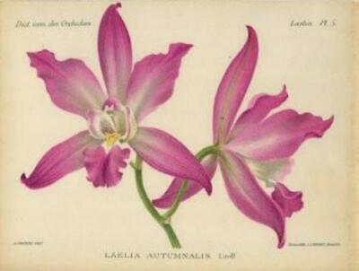 Plate #5 from Dict. Icon. des Orchidees: 'Laelis Autumnalis'