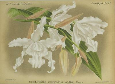 Print Plate from 'Dictionnaire Iconographique des Orchidees' - Coelogyne Cristat