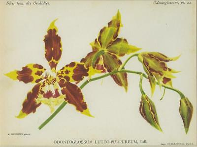 Print Plate from 'Dictionnaire Iconographique des Orchidees' - Odontoglossum Lut