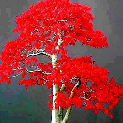 50Pcs Red Japanese Maple Tree Bonsai Seeds (B#)
