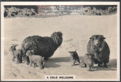 Sheep with Lambs in Winter Snow 1930s Trade Ad Card