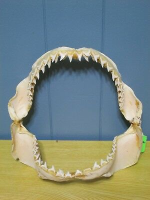 "8"" x 8""  Bigeye Thresher SHARK jaw ichthiology science taxidermy sharks"