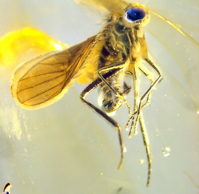 2 Fossil Insects In Baltic Amber 45-55 Millions Years Old(9682 )