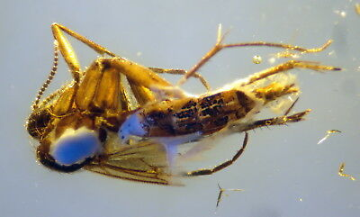Fossil Insect In Baltic Amber 45-55 Millions Years Old(9663 )