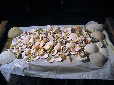 LOT of 100+ SEA SHELLS REAL NATURAL NAUTICAL NAUTILUS OCEAN BEACH SEASHELL CLAMS